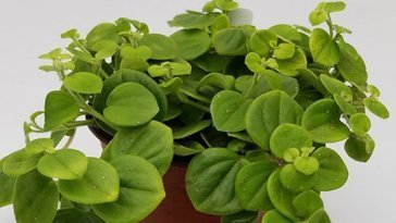 Does-Peperomia-Clean-Air