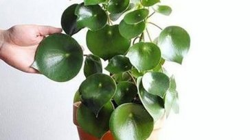 Does-Peperomia-Need-Sunlight