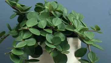How-Big-Do-Peperomia-Plant-Get