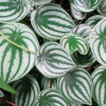 How-fast-does-watermelon-peperomia-grow