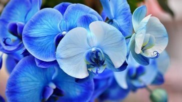 How-to-take-care-of-a-BLUE-MYSTIQUE-ORCHID