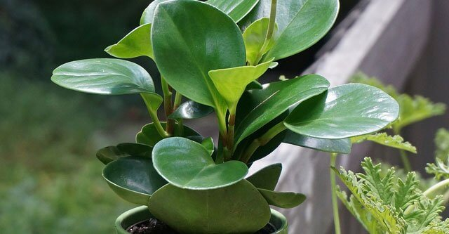 Should-I-Mist-The-Peperomia