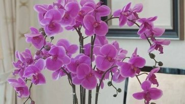 Why-Do-Flowers-Of-Orchids-Fall-Off
