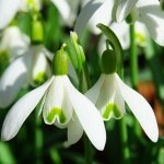 are-snowdrops-unlucky