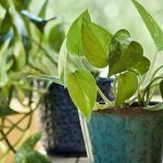 do-pothos-like-coffee-grounds