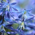 Are-Bluebells-poisonous-to-cats