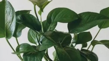 How-Do-I-Know-When-My-Pothos-Plant-Need-Water