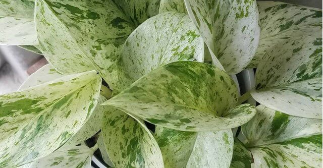 How-much-light-does-a-Marble-Queen-Pothos-need