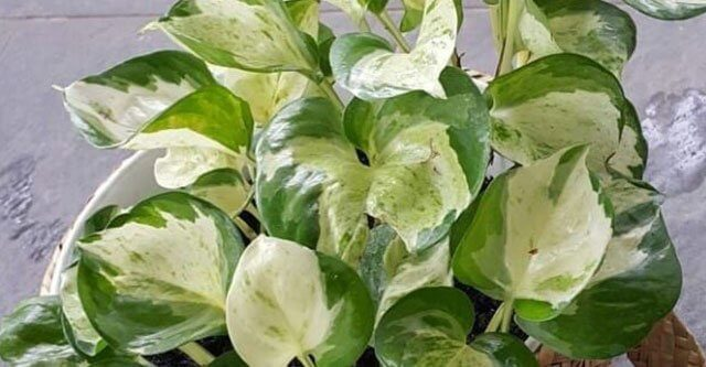 What-Is-Manjula-Pothos