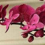 How Many Times Do Orchids Bloom In A Year